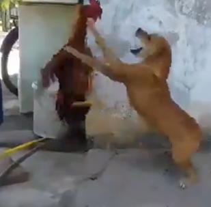 公雞大戰小黃狗