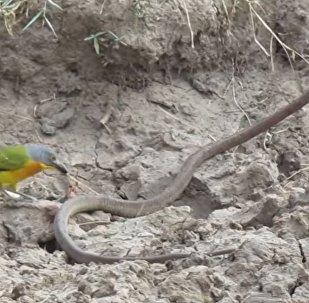 一只小鸟活撕了一条蛇