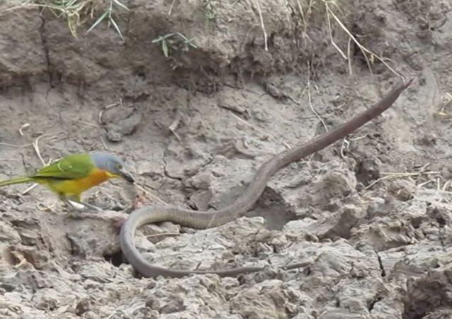 一隻小鳥活撕了一條蛇