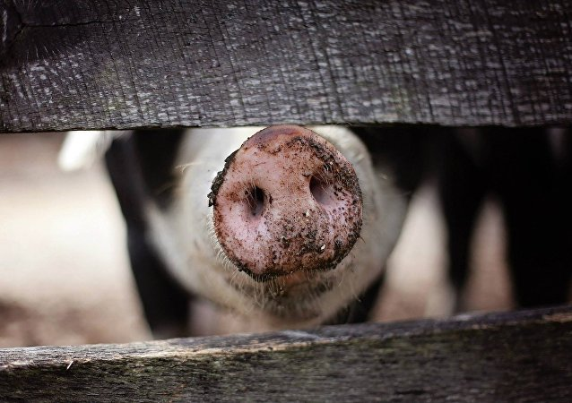 俄滨海边疆区采取措施防止从中国传播非洲猪瘟