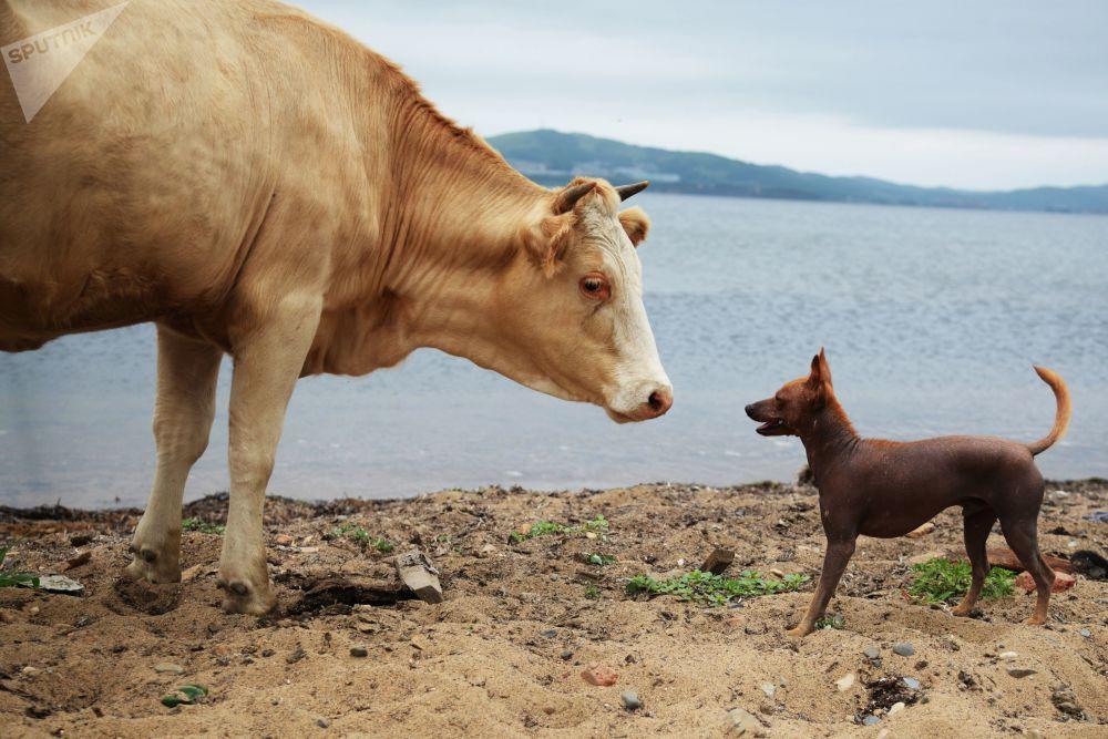 普提雅廷島上普提雅廷村的動物。
