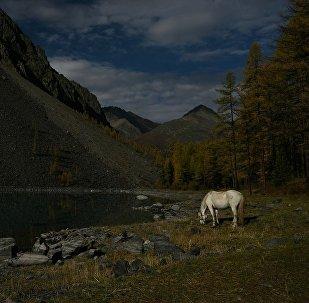 在阿爾泰地區將出現世界上唯一的「旅遊品種」馬