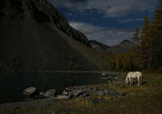 """在阿尔泰地区将出现世界上唯一的""""旅游品种""""马"""