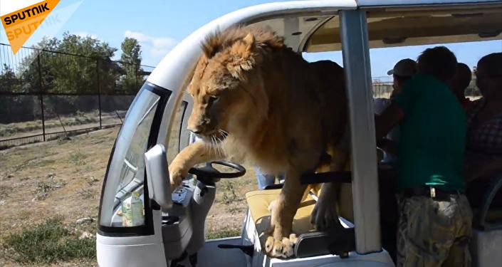 克里米亞野生動物園遊客與獅子親密接觸