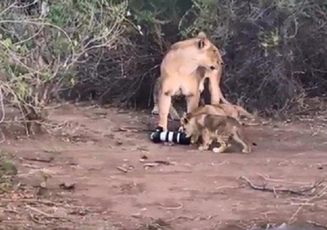 母狮从摄影师那里抢来摄像机并把它给了幼狮