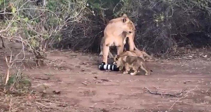 母獅從攝影師那裡搶來攝像機並把它給了幼獅