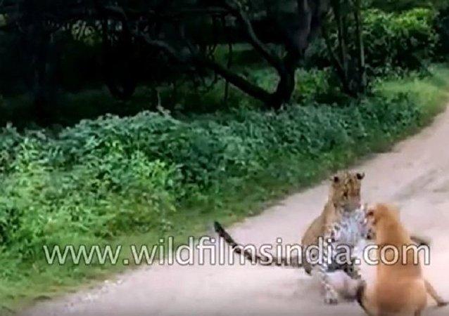 在印度一只狗赶走了试图攻击它的豹子