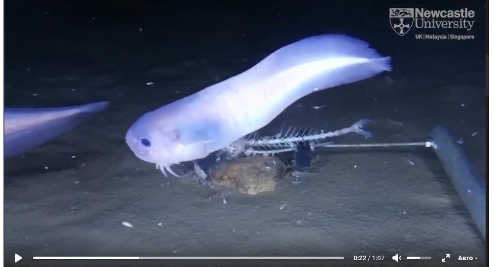 太平洋海底发现新三种鱼