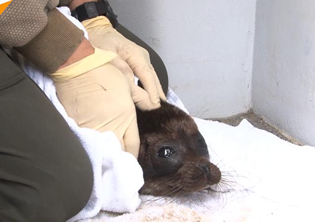 俄羅斯列寧格勒州放生一隻小海豹