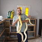埃及捕蛇者收集蛇毒用于全球药物生产