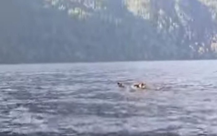 俄阿尔泰保护区拍下熊一家渡湖画面