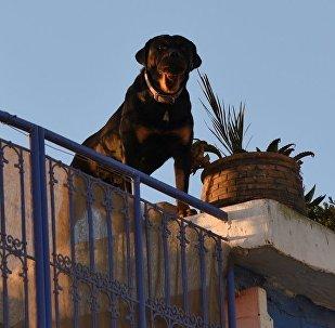 小罗特韦尔犬在吊床上休息