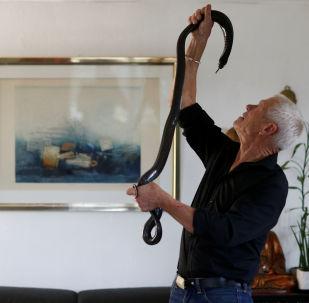 居住在法國南特市附近庫厄龍鎮的67歲老人菲利普·吉勒特在與一條黑色的眼鏡蛇互動
