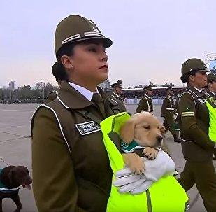 在智利的閱兵式上,因天氣糟糕警犬被發了鞋子