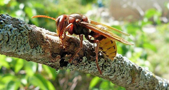黄脚虎头蜂正在占领欧洲并袭击居民