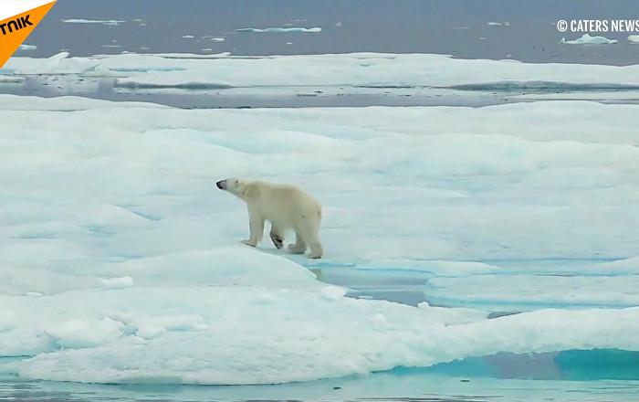 冰川融化让北极熊难觅休息之处