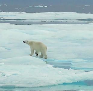 冰川融化讓北極熊難覓休息之處