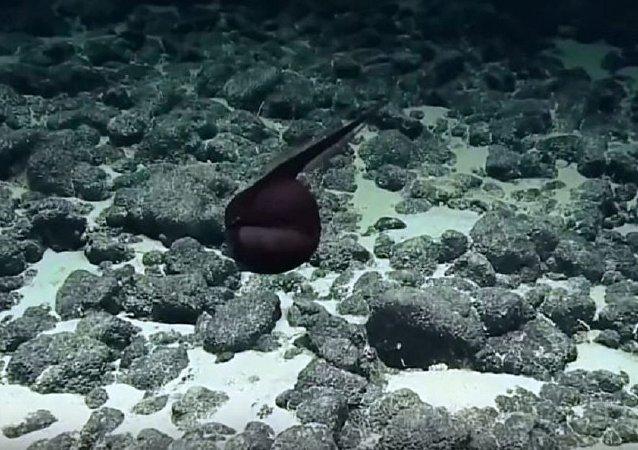 海底發現一隻罕見的大嘴巴怪物