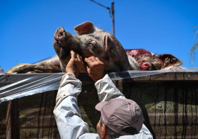 菲律賓首都附近發現非洲豬瘟病源