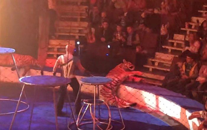 马戏团老虎在演出时昏厥