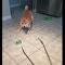 柴犬在镊子面前很紧张