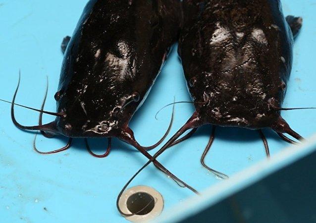 索契居民捕到巨大鯰魚
