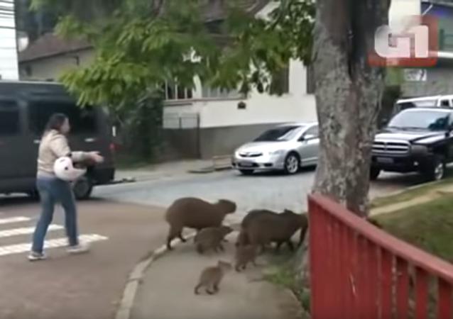 巴西女子路遇水豚一家 拦住汽车让它们过马路