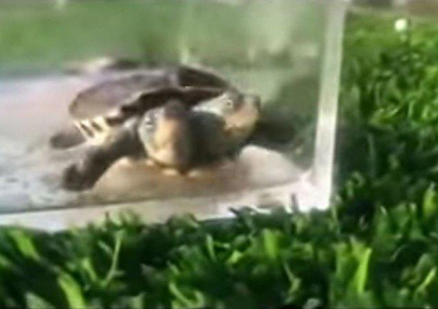 中國自然保護區出現一頭罕見雙頭龜