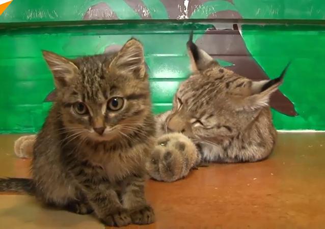 猞猁為何收養三隻小貓?