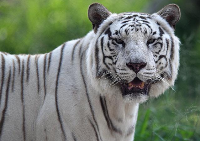 日本动物园珍稀白虎袭击饲养员