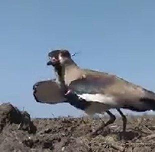 保護幼雛的鳥兒視頻感動了網民