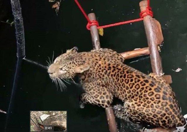 印度人救出了一隻掉進深井的豹子