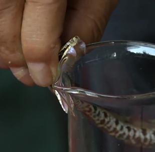 致命營生:中國一村莊居民養蛇為生