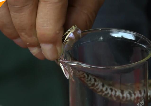 致命营生:中国一村庄居民养蛇为生