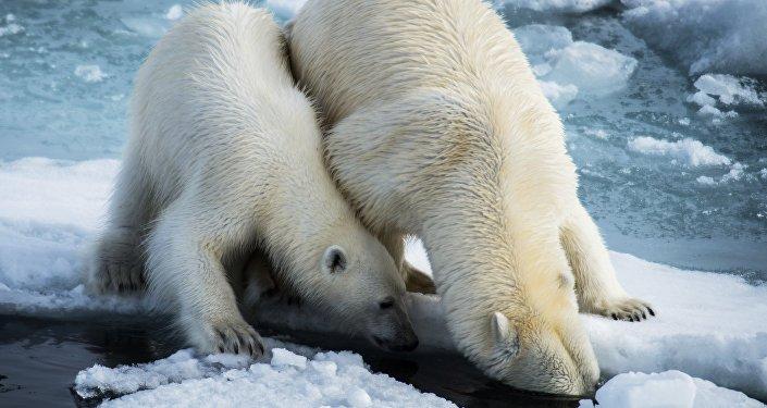 北极熊和她的孩子们