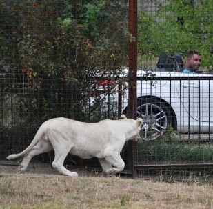 家養母獅將主人咬成重傷