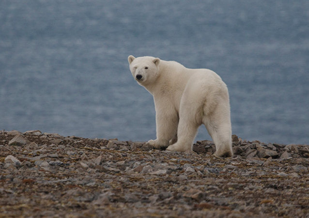 俄罗斯楚科奇自治区今年北极熊出现时间晚了一个月