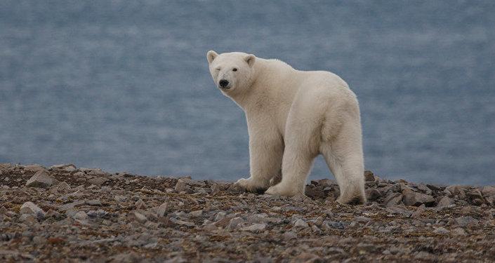 俄羅斯楚科奇自治區今年北極熊出現時間晚了一個月