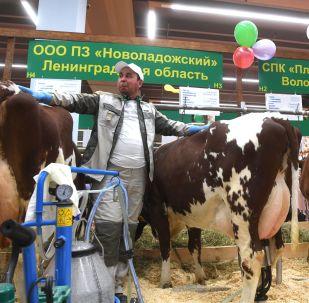 新拉多什育種場展台上的奶牛