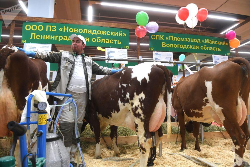 新拉多什育种场展台上的奶牛