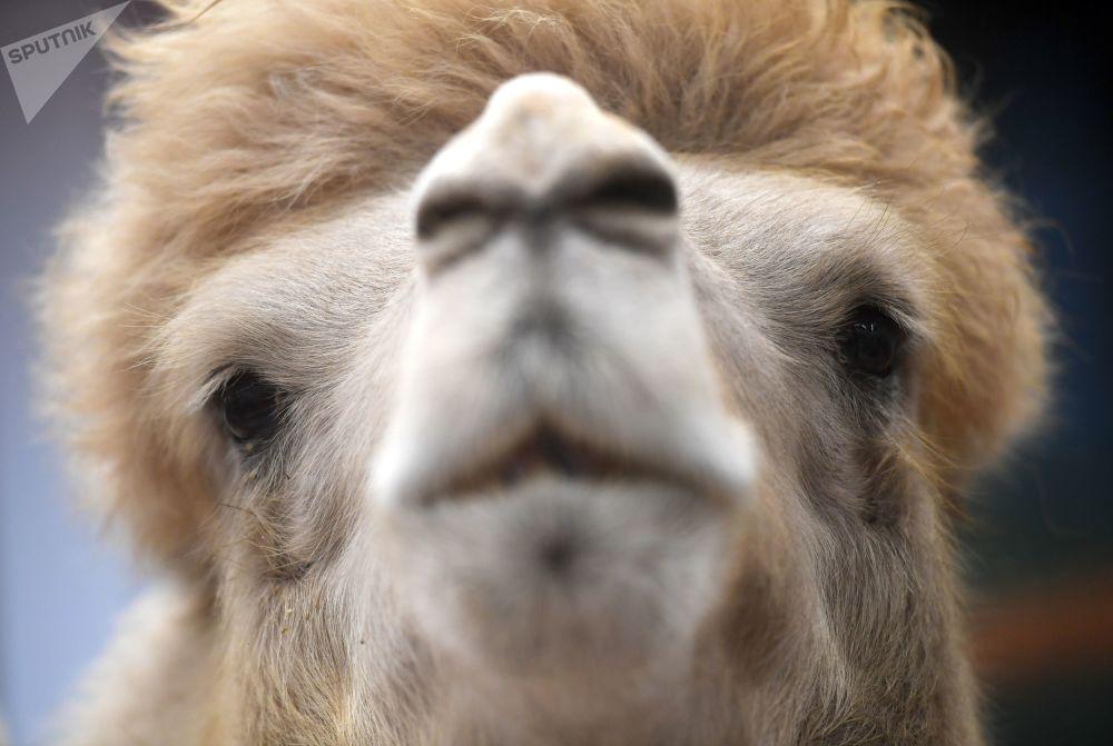 第20届《金秋》农业展上的骆驼