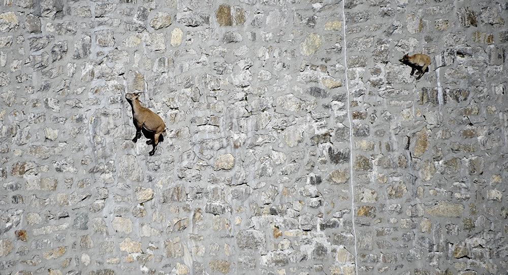 意大利解開山羊行走於陡壁的秘密