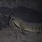 巨型鳄鱼嘴叼豹子被拍