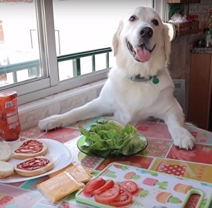 狗狗饿了之金毛做汉堡