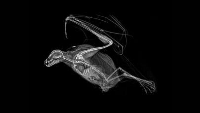 罗德里格斯飞狐的X射线成像