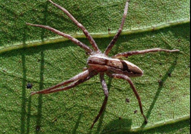 化身枯叶的蜘蛛看起来像什么