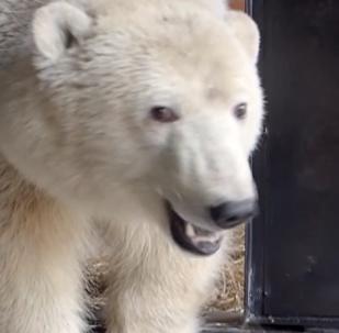 營救小北極熊