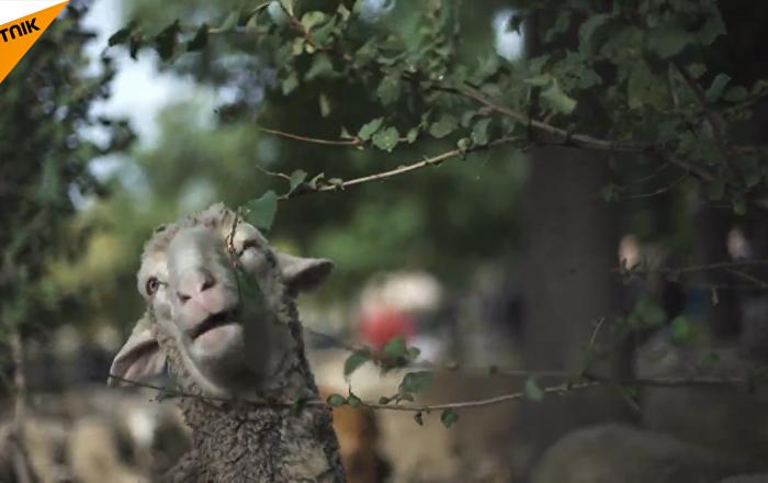 西班牙羊群大遊行_SMPL