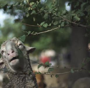 西班牙羊群大遊行_TRAD