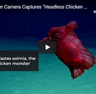 """""""未知""""海洋生物困惑澳大利亚科学家"""